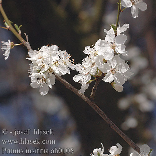 Prunus insititia ah0105