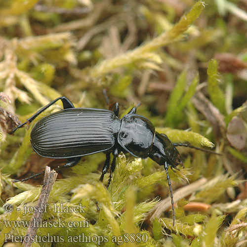 Pterostichus aethiops ag8880