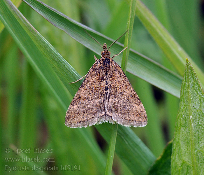 Pyrausta despicata Straw-barred Pearl