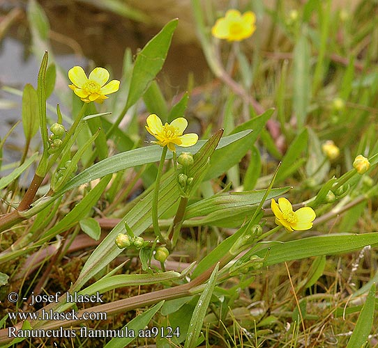 Ranunculus flammula Lesser Spearwort Brennender Hahnenfuß Jaskier płomiennik