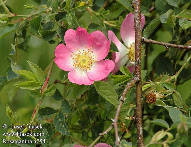 rosa canina hunds rose hunde rose dog rose glantier vadr zsa hondsroo. Black Bedroom Furniture Sets. Home Design Ideas