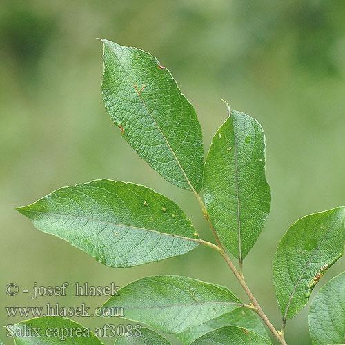 Salix caprea af3088
