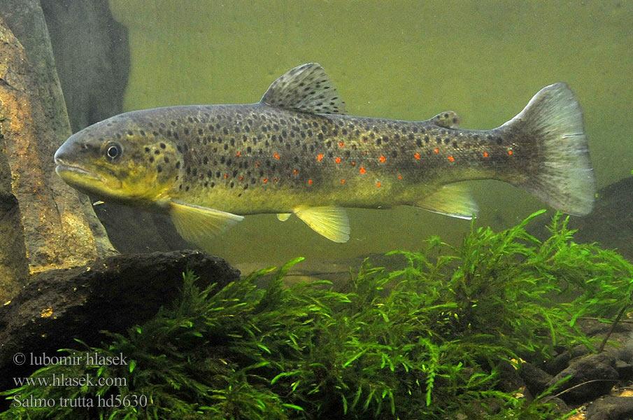 Brown trout Salmo trutta fario
