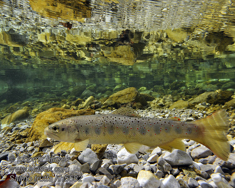 Salmo trutta fario Brown trout