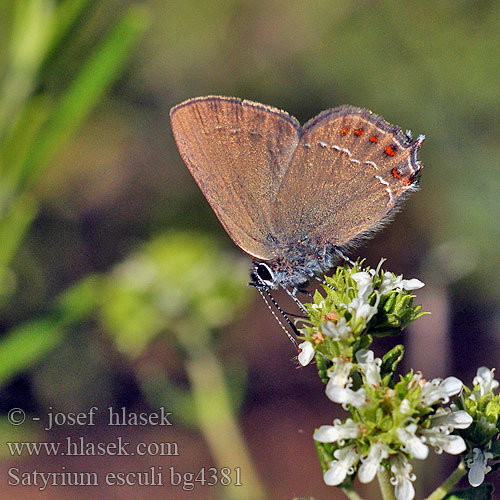 Thécla Kermès Spaanse eikepage False Ilex Hairstreak