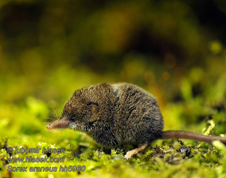 Common Shrew Sorex araneus