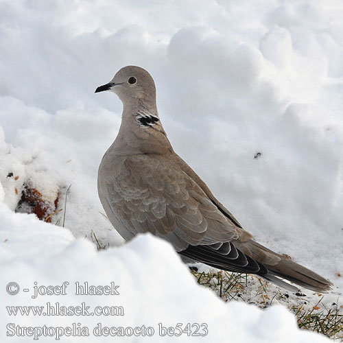 Collared Dove Türkentaube Tourterelle turque