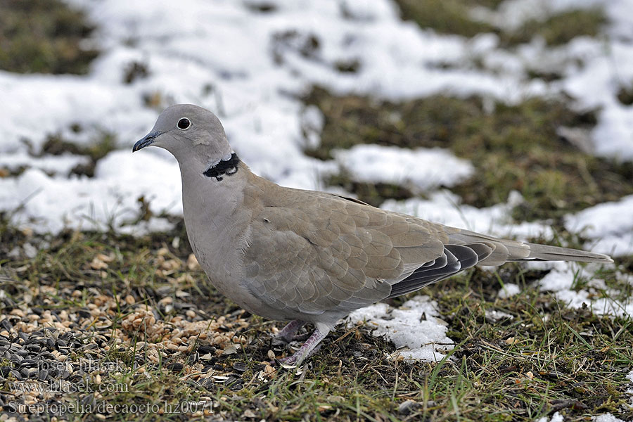 Streptopelia decaocto Collared Dove