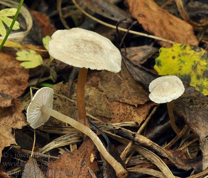 Tephrocybe_mephitica_bs9127
