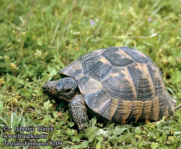 Quiz tartarughe 3 la vendetta rivolto a tutti yahoo for Incubatrice per tartarughe