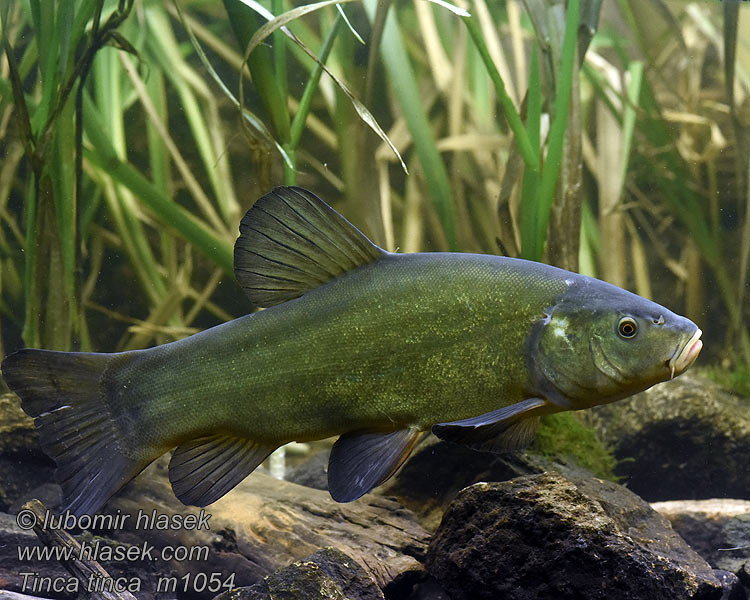 tinca tinca fish