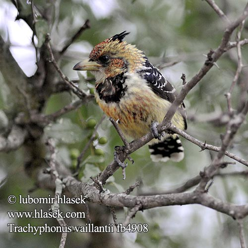 Levaillant's Barbet Trachyphonus vaillantii fb