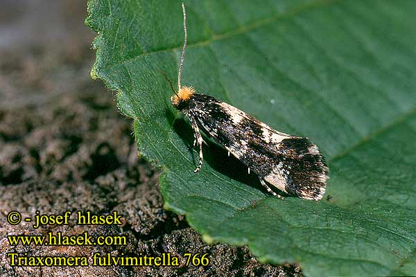 Triaxomera fulvimitrella Four-spotted clothes moth