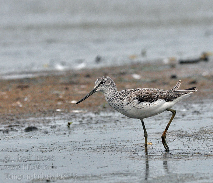 Tringa nebularia Common Greenshank
