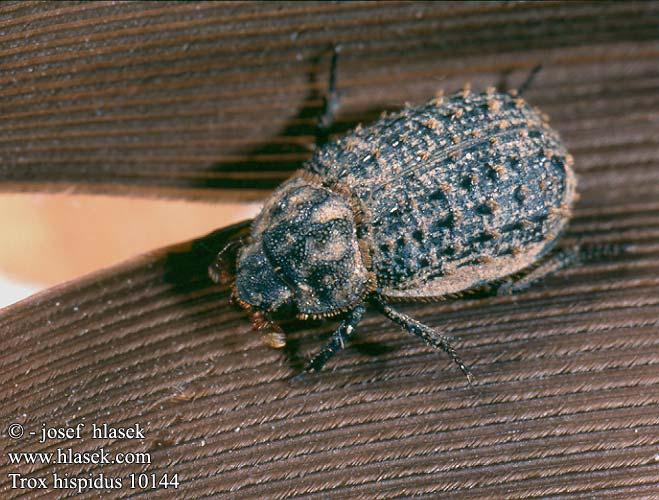 List of Scarabaeid Beetles