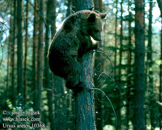Ursus arctos UK: Brown Bear FR: Ours brun DE: Braunbär ES: Oso pardo CZ: medvěd hnědý PL: Niedźwiedź brunatny SK: Medveď hnedý IT: Orso bruno NL: Bruine Beer FI: karhu HU: barna medve EE: Pruunkaru karu LV: brunais lacis LO: lokys TR: ayi