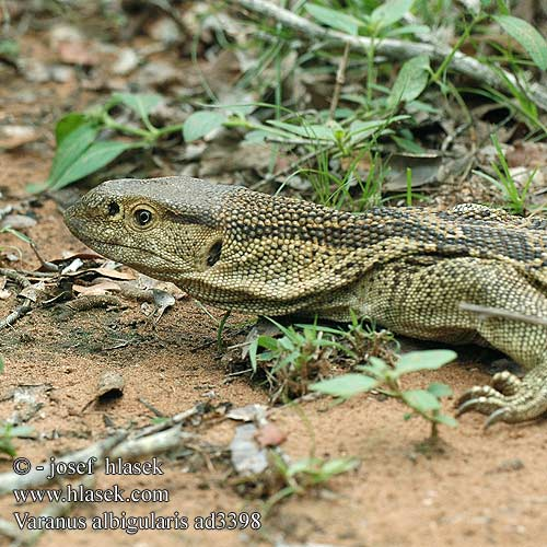Varanus albigularis ad3398 UK: White-throated Savanna Monitor DK: Rock monitor lizard FI: Valkokaulavaraani NL: Zwartkeel varaan zwartkeelvaraan gelijkende witkeelvaraan HU: Fehértorkú varánusz DE: Weißkehlwaran Weisskehlwaran Kapwaran PL: Waran białogardły SK: Varan bielohrdlý