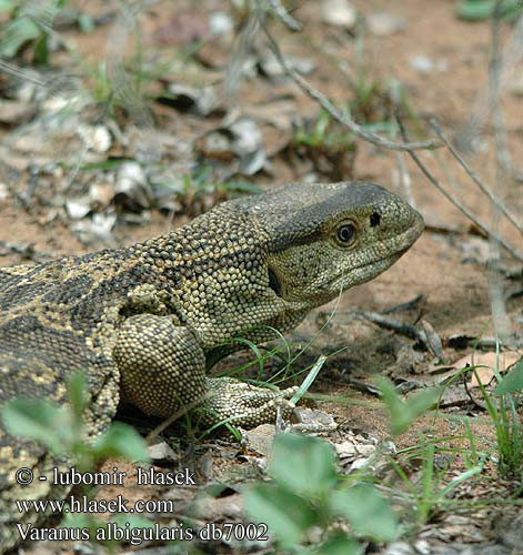Varanus albigularis db7002 UK: White-throated Savanna Monitor DK: Rock monitor lizard FI: Valkokaulavaraani NL: Zwartkeel varaan zwartkeelvaraan gelijkende witkeelvaraan HU: Fehértorkú varánusz DE: Weißkehlwaran Weisskehlwaran Kapwaran PL: Waran białogardły SK: Varan bielohrdlý