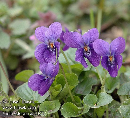 PLANTAS PARA SOMBRA. Viola_odorata_aa5372