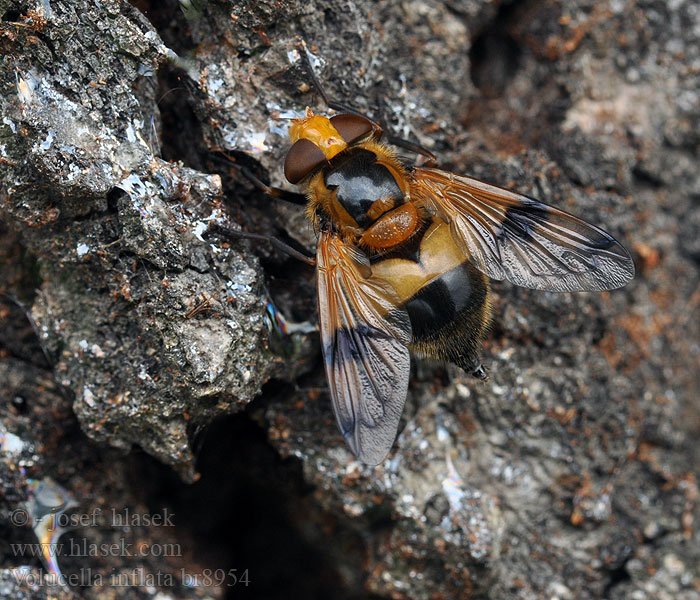 Volucella inflata Cossus hoverfly